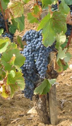 grape varieties