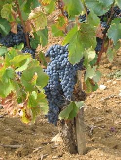 cabernet wine tasting